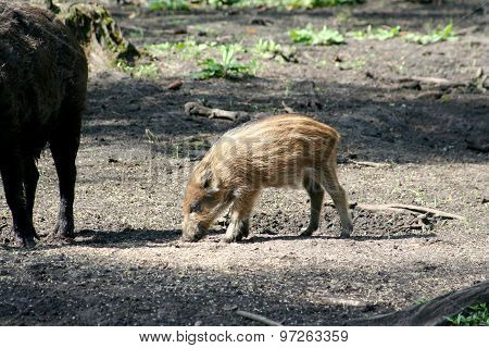 Pig Of A Wild Boar