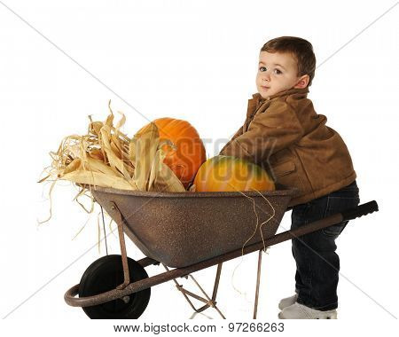 An adorable baby boy putting pumpkins into his wheelbarrow.  Isolated on white.