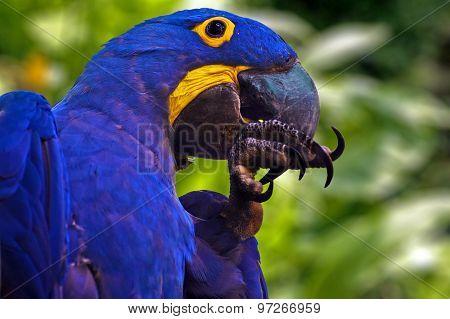 Blue Parrot - Hyacinth Macaw - Anodorhynchus hyacinthinus
