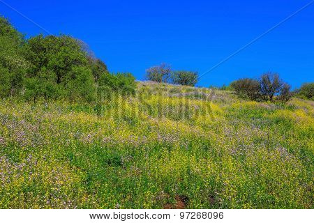 The legendary Golan heights in a fine sunny day. Picturesque carpet of spring flowers and fresh grass. Israel