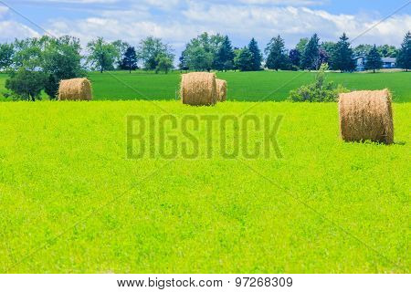 Round hay bales on the green field