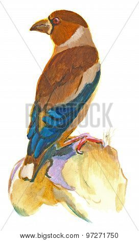 Hawfinch. An Hand Painted Illustration On White - Bird