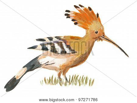 An Hand Painted Illustration On White - Bird, Hoopoe