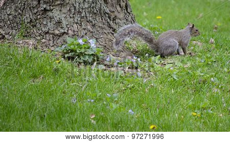 Squirrel And Violets