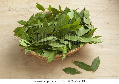 Basket with fresh picked green bay leaves