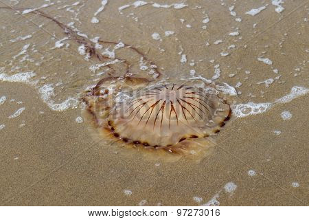 Compass jellyfish washed ashore at the beach