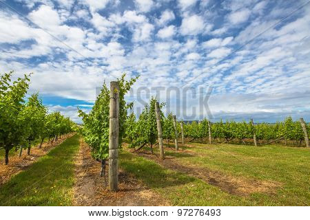 Vineyard in Tasmania