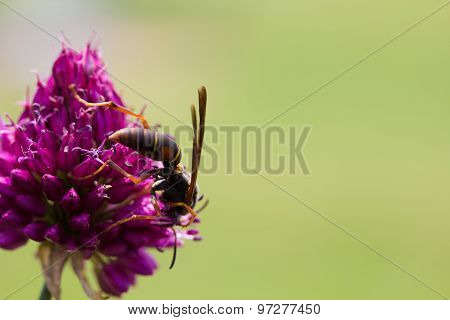 Drumstick Allium Flower Bloom And Wasp