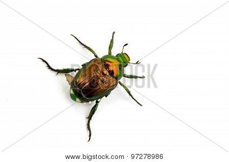 Japanese Beetle Popillia Japonica