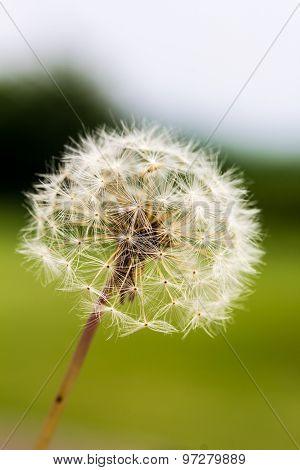 Dandelion Taraxacum Seed Head
