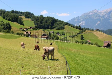 Cows In Alps Pasture