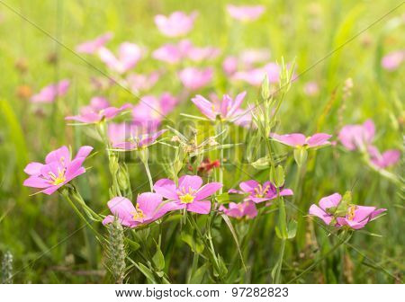 Meadow Pink, Sabatia campestris flowers growing on a sunny summer meadow