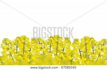 Flower of a rapeseed