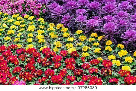 Primrose and cabbage garden