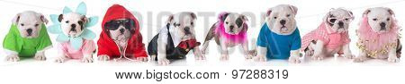 litter of bulldog puppies dressed up in costumes - 8 weeks old