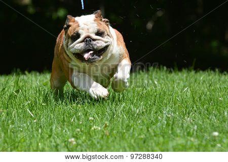 dog running towards viewer - bulldog