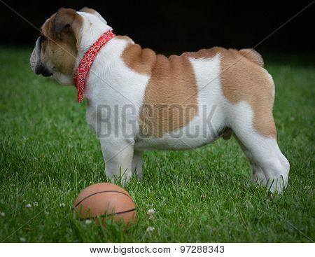 dog playing with a ball outdoors in the park - bulldog