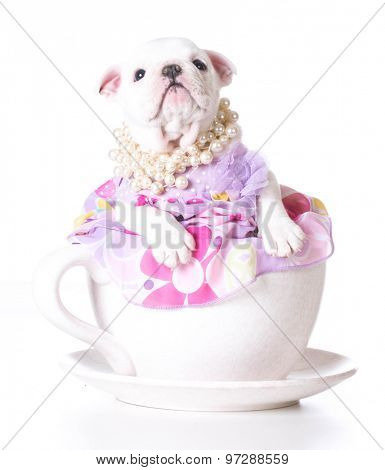 female puppy - bulldog sitting inside a teacup on white background - 7 weeks old
