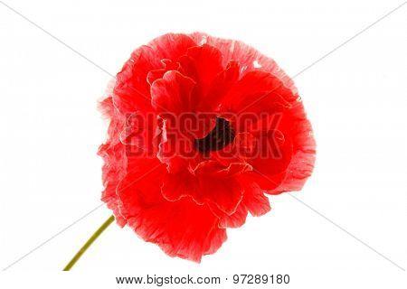 nice poppy