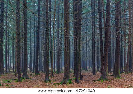 Dense Dark Coniferous Forest Autumn Day