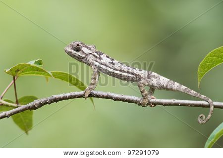 Flap-necked Chameleon (chameleo Dilepis) Erect On  A Branch