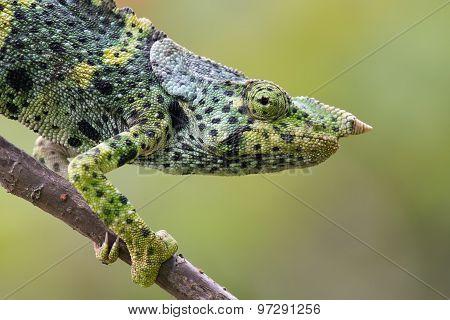 Portrait Of A Melleri's Chameleon (chameleo Melleri)