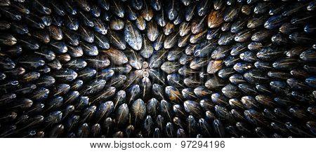 Mussel-Eclade