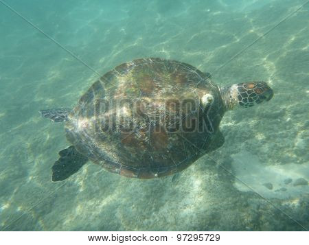 A Large Sea Turtle Swimming In The Ocean