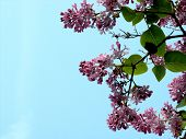 Lilacs With Blue Sky poster