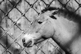 stock photo of big horse  - profile of the big head or muzzle of a horse of gray color sideways closeup against the open - JPG