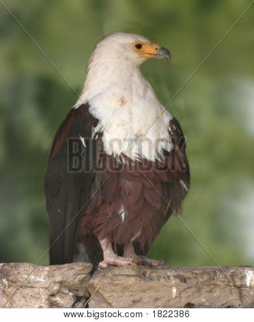 Eurasian Sea Eagle