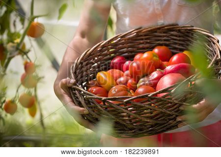 poster of Ripe organic tomatoes in greenhouse in a garden ready to harvest. Closeup of basket with fresh vegetables in woman's hands. Healthy food concept