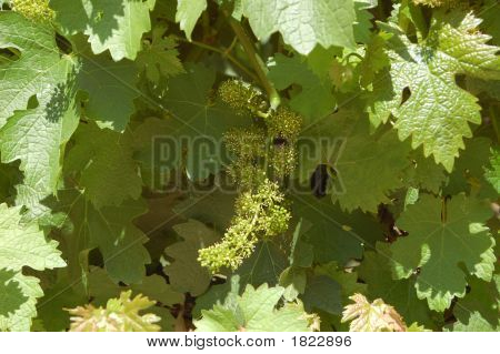 Wine Grapes 2