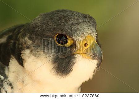 Peregin Falcon