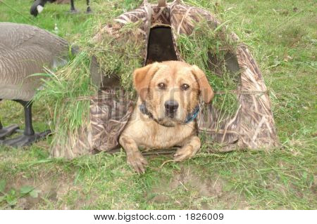 Yellow Lab In A Blind