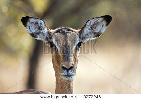 Impala doe with back-lighting portrait