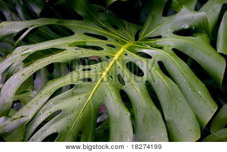Tropical Leaf Swiss Cheese Plant