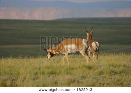Pronghorn Buck Pair