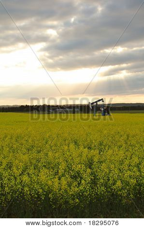 Oil and Canola