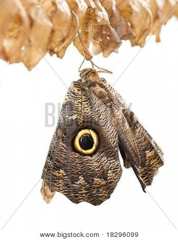 Caligo Memnon or Owl Butterfly on a branch after emerging from an chrysalis