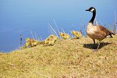 stock photo of mother goose  - Canada goose goslings sitting in the grass with mother at lakeside - JPG