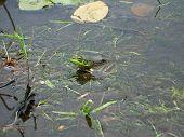 Green Water Frog In Lake