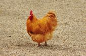 stock photo of fighting-rooster  - Beautiful red domestic rooster in a farmyard - JPG