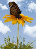 picture of monarch butterfly  - Monarch butterfly on a black - JPG