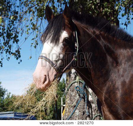 Clydesdale Stallion
