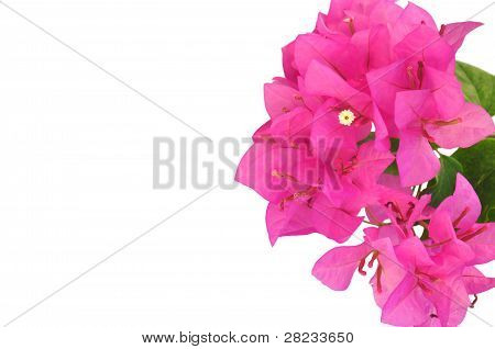 Bougainvillea (isolated)