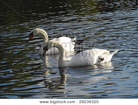 Love of swans