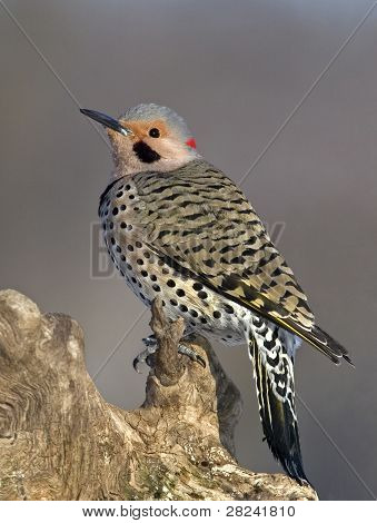 Male Northern Flicker (Colaptus auratus)