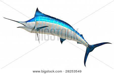 Mounted Blue Marlin Against White Background