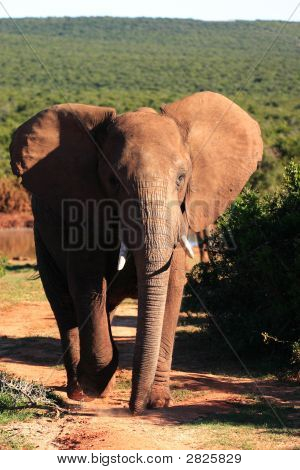 African Elephant Bull (Loxodonta Africana) With Ears Flapping
